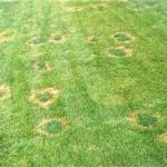 summer-lawn-fungus-necrotic-ring-spot