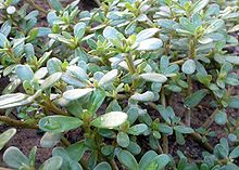 Finding Edible Plants in Your Yard - purslane or pigweed