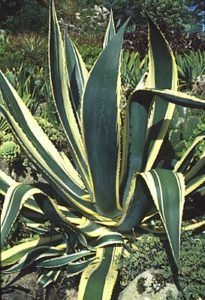 Landscaping with Cacti and Succulents - agave americanus variegated