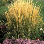 Tall Exotic Grasses Add Variety in the Landscape - yellow grasses