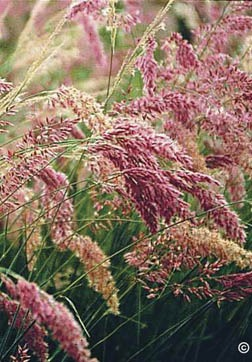 Tall Exotic Grasses Add Variety in the Landscape - purple grasses