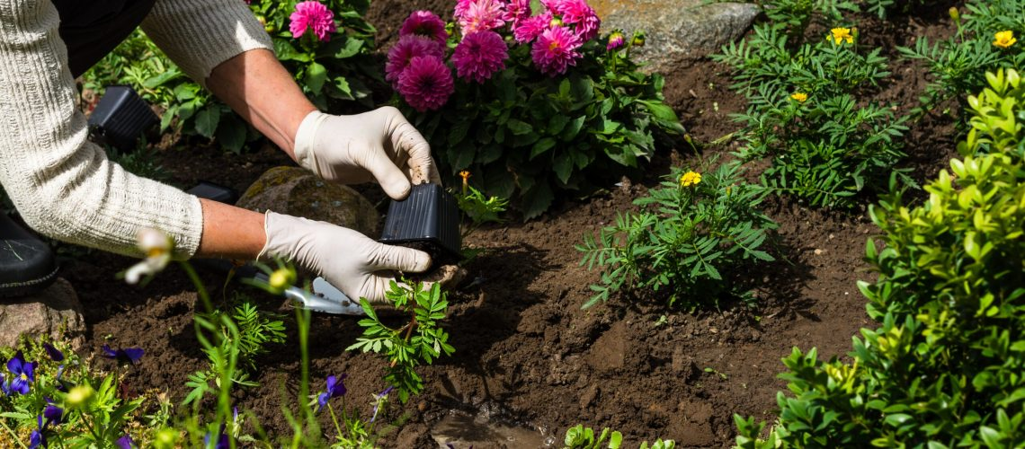 Woman is planting marigold (Tagetes)  seedlings in the flower garden, horticulture and the flower planting concept